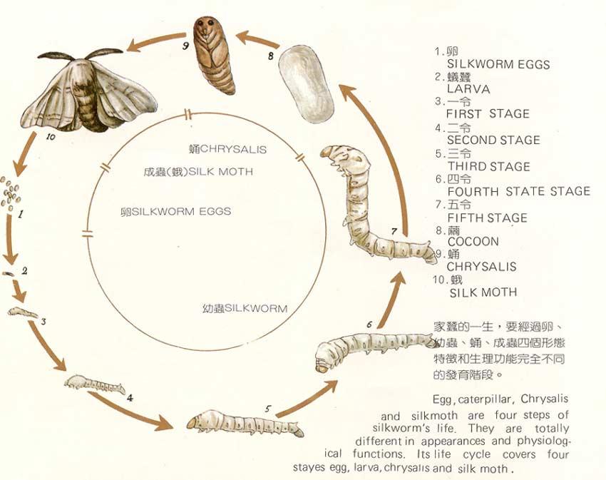 蚕蛹   蚕上蔟结茧后经过4天左右,就会变成蛹。蚕蛹的体形像一个纺棰,分头、胸、腹三个体段。头部很小,长有复眼和触角;胸部长有胸足和翅;鼓鼓的腹部长有9个体节。专业工作者能够从蚕蛹腹部的线纹和褐色小点来判别雌雄。蚕刚化蛹时,体色是淡黄色的,蛹体嫩软,渐渐地就会变成黄色、黄褐色或褐色,蛹皮也硬起来了。经过大约12到15天,当蛹体又开始变软,蛹皮有点起皱并呈土褐色时,它就将变成蛾了。   蚕蛾(成虫)   蚕蛾的形状像蝴蝶,全身披着白色鳞毛,但由于两对翅较小,已失去飞翔能力。蚕蛾的头部呈小球状,长有鼓起的