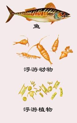 图4:海洋浮游植物-浮游动物-鱼的食物链关系示意图