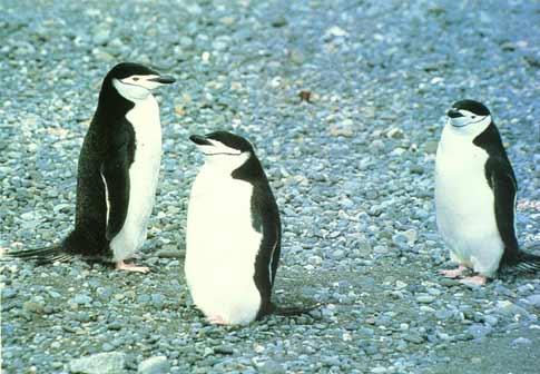 动物 企鹅 485_336