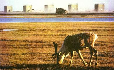生命 > 北极动物高清图片
