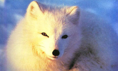 > 北极动物高清图片