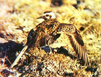 黄金鸻伸出一个翅膀装成折断了的样子,以吸引天敌-冰雪馆