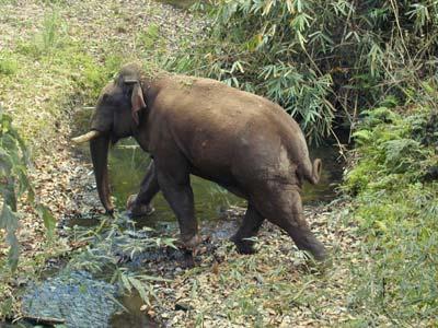 大象仅有二三百头