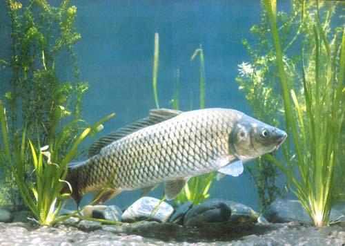 中国的淡水鱼类究竟有哪些