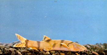 中国 薄鳅属/似鲇高原鳅(Triplophysa siluroides)属鲤形目,鳅科,条鳅亚科...