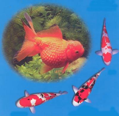 曾有人在湖北鄂州一带发现长江中有花纹鱼群游戏水,可以作为观赏鱼
