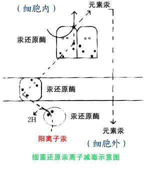 细菌抗汞模型示意图