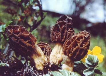 西藏羊肚菌_蘑菇博物馆_中国科普博览