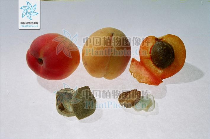 荠菜胚珠结构示意图