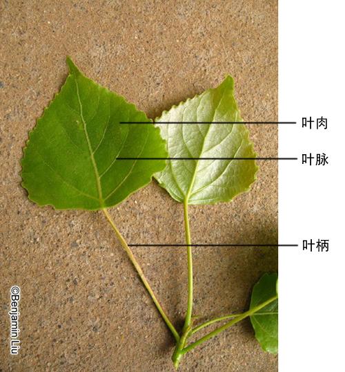 如印度橡皮树可有3-4层细胞