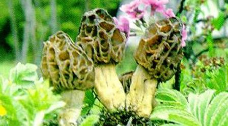 真菌门 || 植物博物馆
