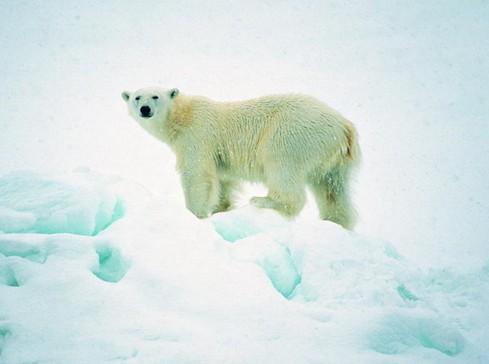 北极熊面临困境
