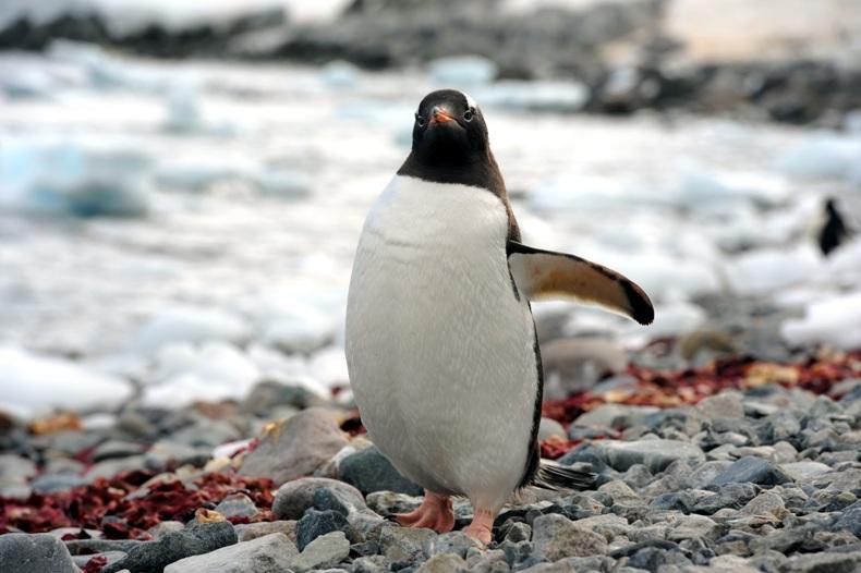 南极洲可爱的象征,冰川上执着的孩子