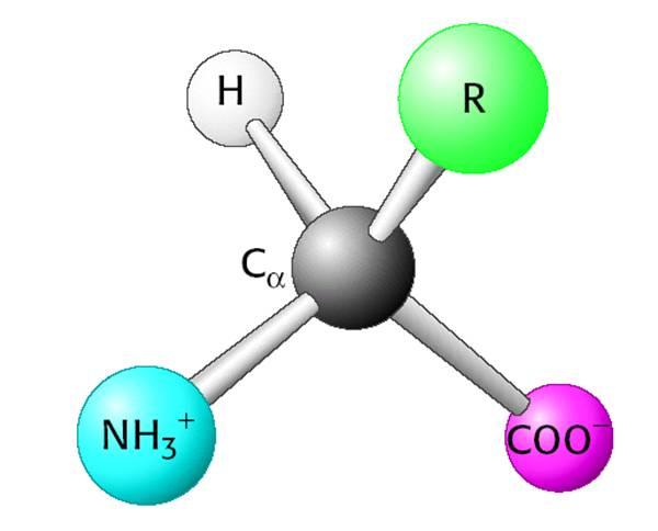 氨基酸(Amino acid)是构成蛋白质(protein)的基本单位,赋予蛋白质特定的分子结构形态,使它的分子具有生化活性。蛋白质是生物体内重要的活性分子,包括催化新陈代谢的酶。 氨基酸(amino acids)广义上是指既含有一个碱性氨基又含有一个酸性羧基的有机化合物,正如它的名字所说的那样。但一般的氨基酸,则是指构成蛋白质的结构单位。 氨基酸为分子结构中含有氨基(NH2 )和羧基(COOH),并且氨基和羧基都直接连接在一个CH结构上的有机化合物。通式是H2NCHRCOOH。根据氨基连结在羧酸中碳原