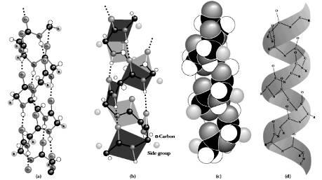 蛋白质的二级结构